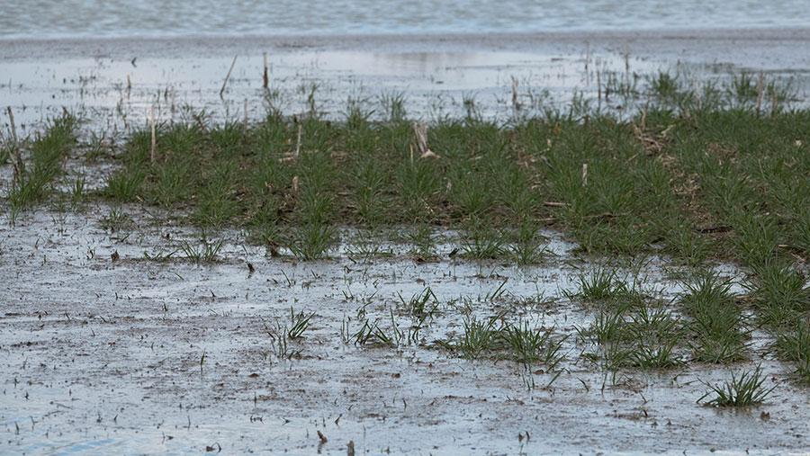 131119-Winter-wheat-plants-in-flood-water